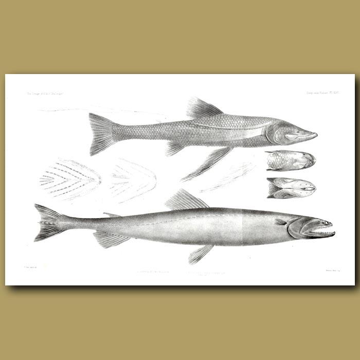 Antique print. Lizardfish, Spiderfish