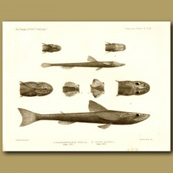 Deepwater Green-Eye, Grid-Eye Fish