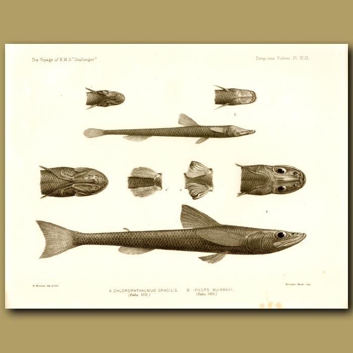 Antique print. Deepwater Green-Eye, Grid-Eye Fish
