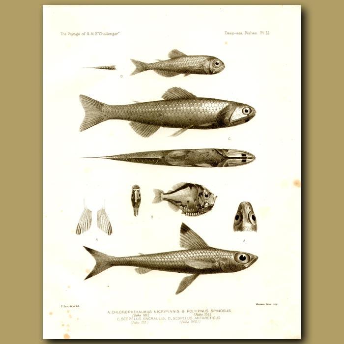 Antique print. Cucumber Fish, Three Spined Hatchet Fish, Blue Lanternfish, Lanternfish