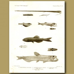 Saber-Tooth Fish, Black Lanternfish, Hammerjaw, Black Dragon Fish