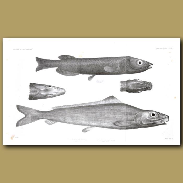 Antique print. Deep Sea Fish