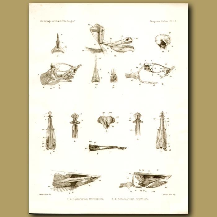Antique print. Fish Skulls