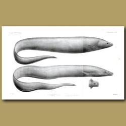 Grey Cutthroat, Deepwater Arrowtooth Eel