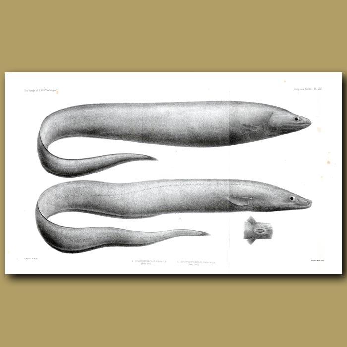 Antique print. Grey Cutthroat, Deepwater Arrowtooth Eel