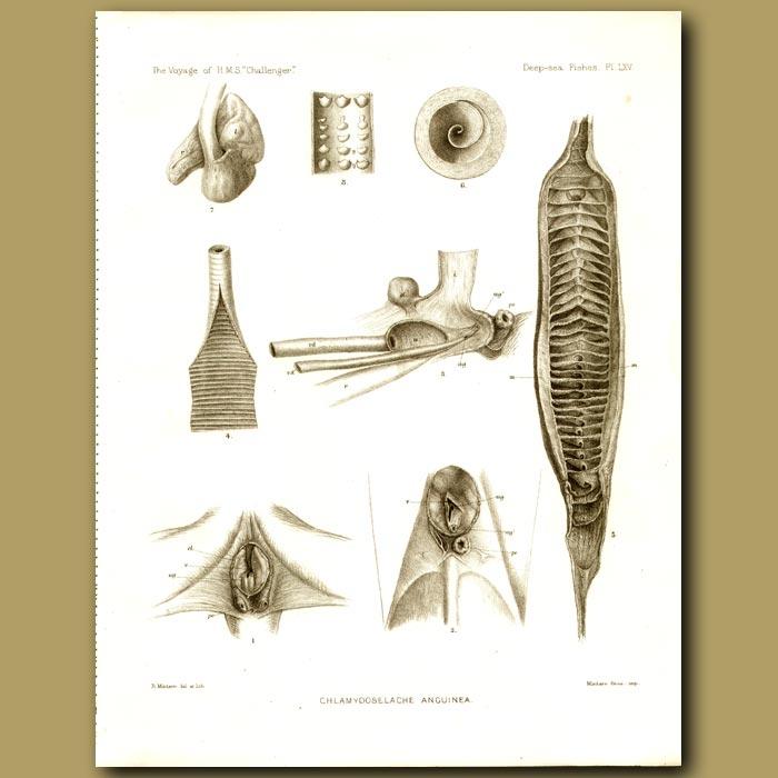 Antique print. Silk Shark