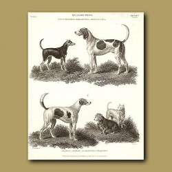Stag Hound, Fox Hound, Smooth Terriers and Rough Terrier