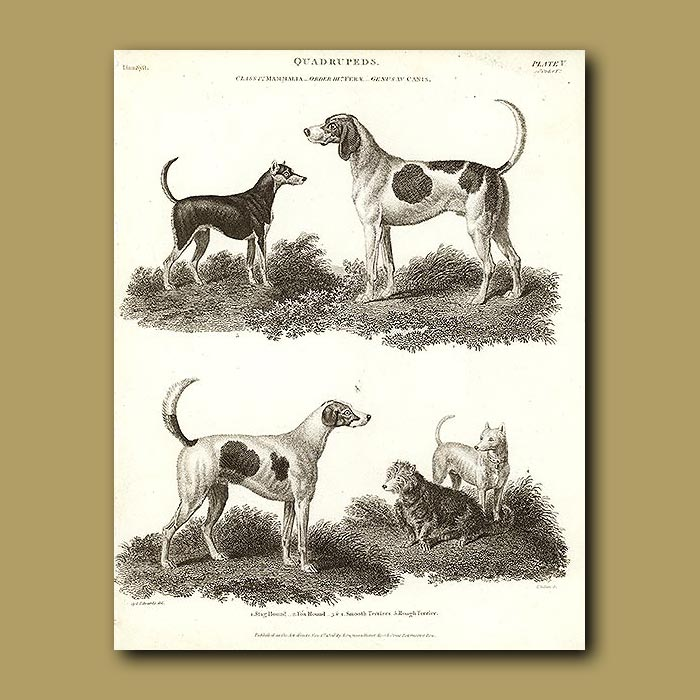 Antique print. Stag Hound, Fox Hound, Smooth Terriers and Rough Terrier