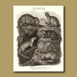 Civet, Fossa, Weasels