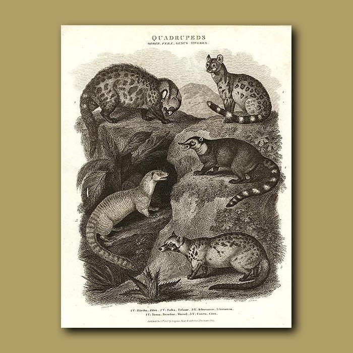 Antique print. Civet, Fossa, Weasels