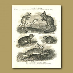 Jerboa, Hares and Hyrax