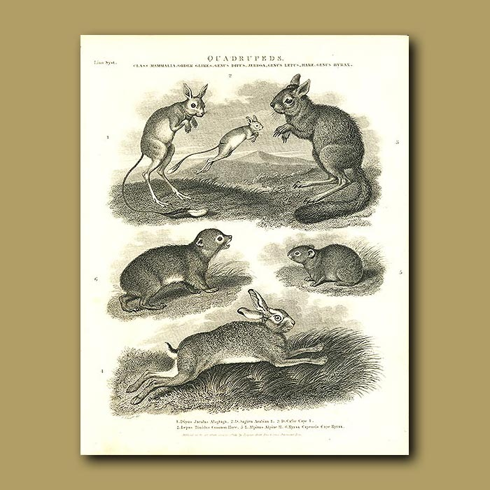 Antique print. Jerboa, Hares and Hyrax