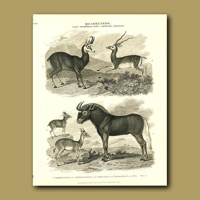 Antique print. Chamoix, Pygmy antelope and Gnu