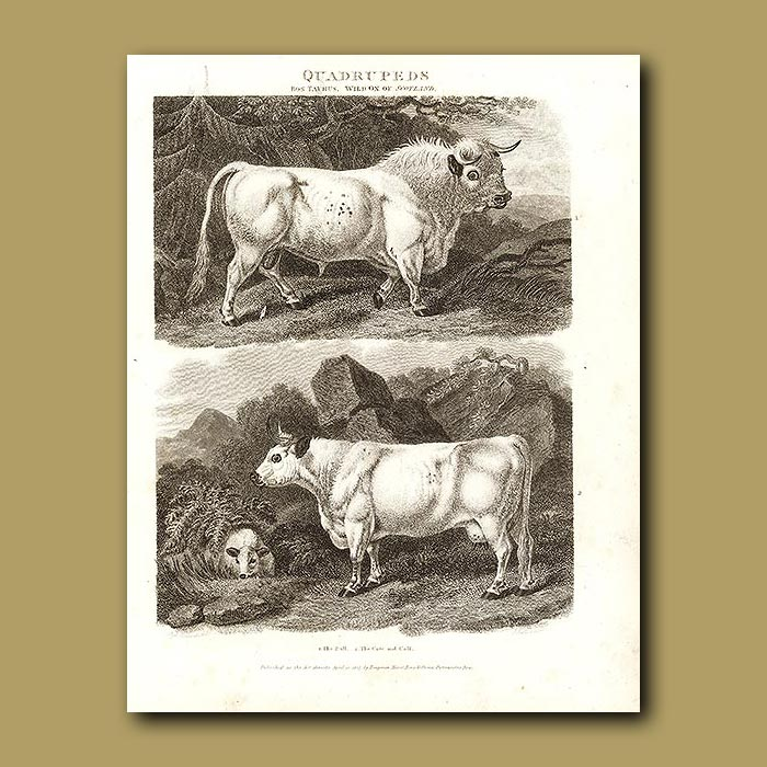 Antique print. Wild Ox of Scotland and Cow and Calf