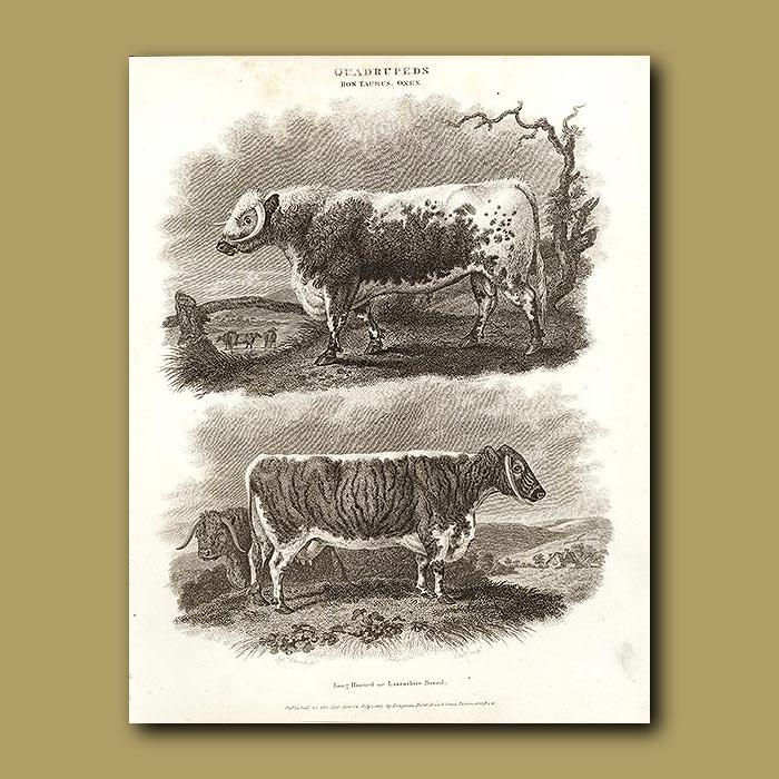 Antique print. Lancashire or Long Horned Oxen