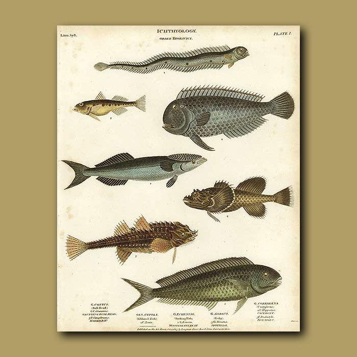 Antique print. Bull Heads, Goby, Sucking Fish