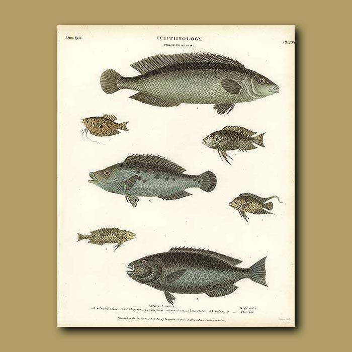 Antique print. Wrasse Fish