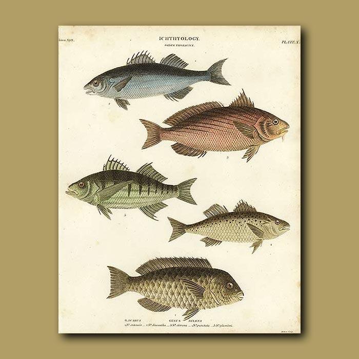 Antique print. Bream and Scale Fish