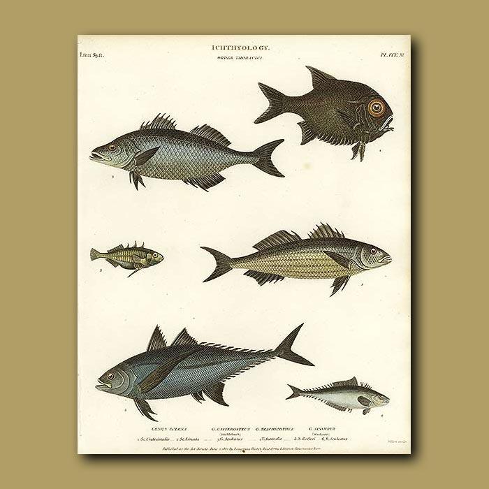 Antique print. Mackerel, Stickleback etc