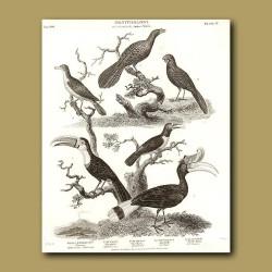 Toucan, Hornbill And Wattle Bird