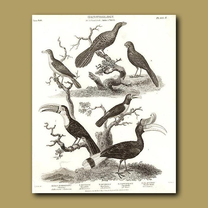Antique print. Toucan, Hornbill and Wattle Bird