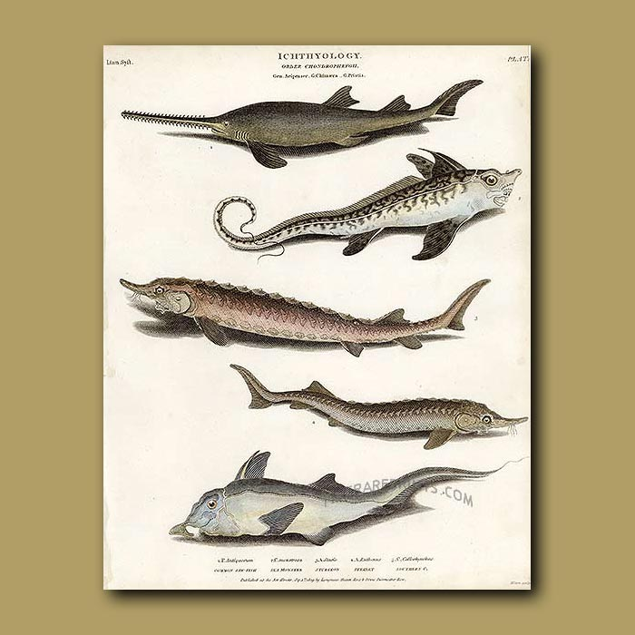 Antique print. Sea Monster, Saw Fish, Sturgeon, Sterlet, Southern Cod