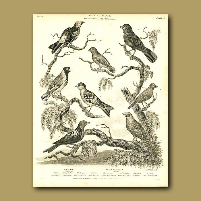 Antique print. Tanager and Finch birds