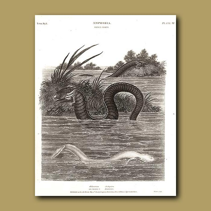 Antique print. Eel-shaped and Anguina Sirens (Axolotyl salamanders)