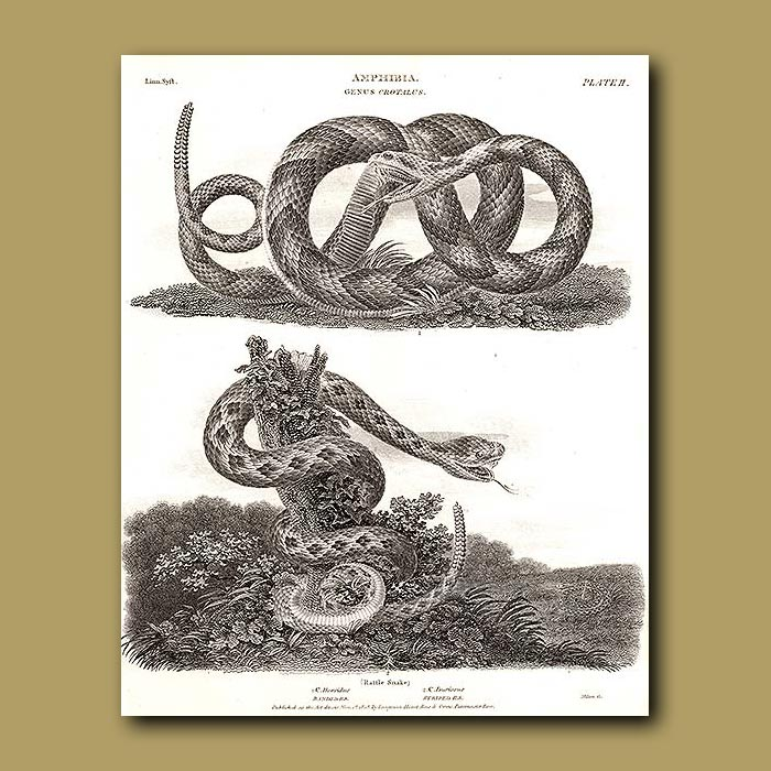 Antique print. Banded and Striped Rattle Snakes
