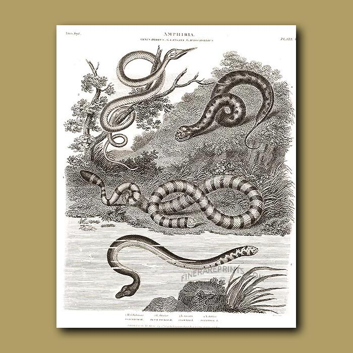 Antique print. Colubrine, Black Backed, Snouted and Doubtful Water Snake