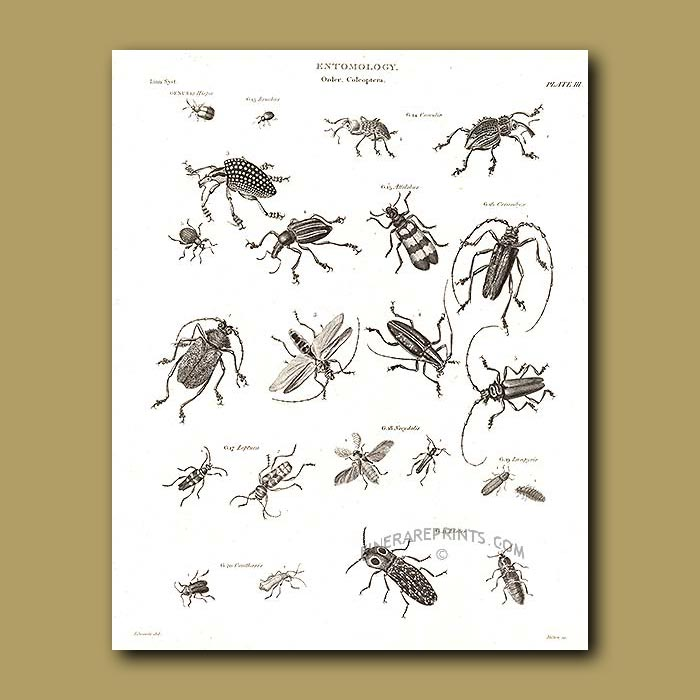 Antique print. Weevils and other beetles