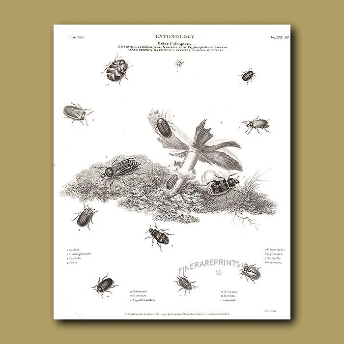 Antique print. Byrrhus and Silpha beetles