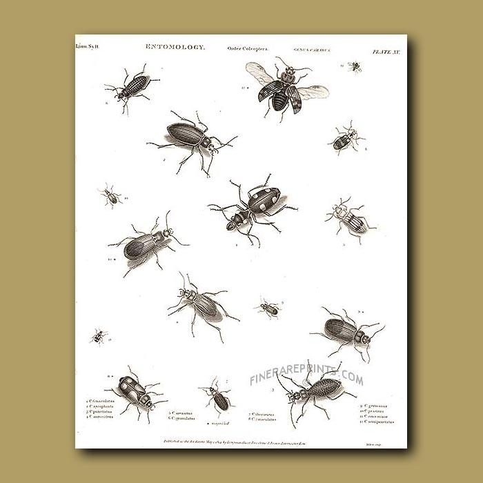 Antique print. Ground Beetles