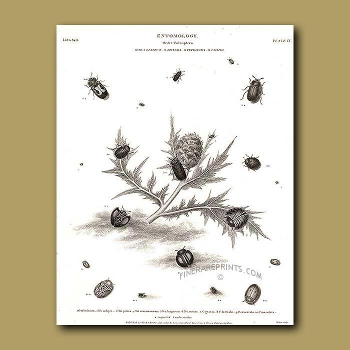 Antique print. Opatrum, Tritoma, Tetratoma and Cassida beetles