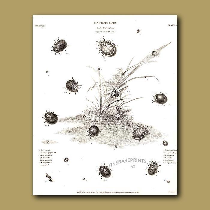 Antique print. Ladybirds