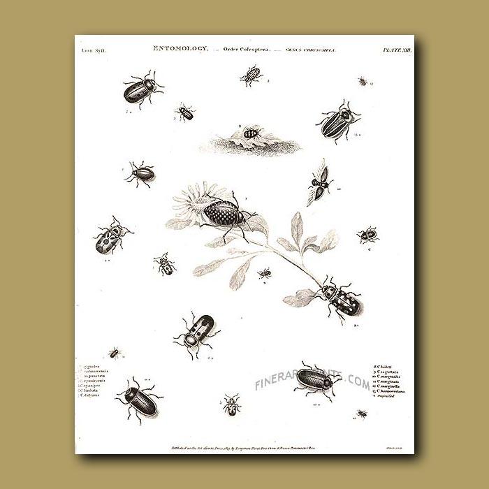 Antique print. Leaf Beetles