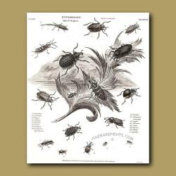 Fruit Weevil beetles
