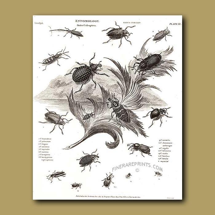 Antique print. Fruit Weevil beetles