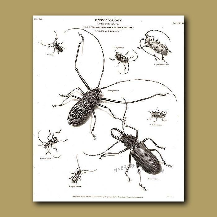Antique print. Long-horned Beetles