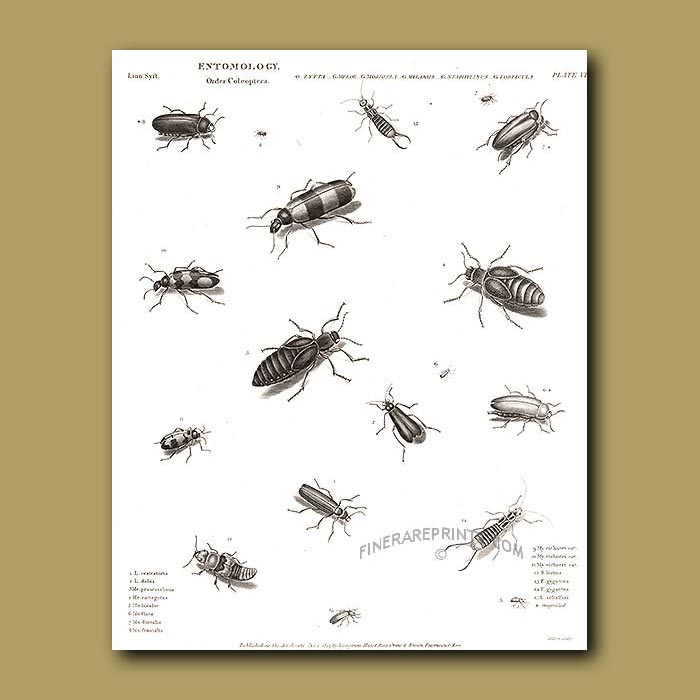 Antique print. Blister and other beetles