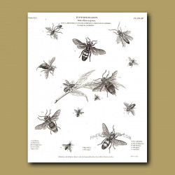 Sawflies, Bees and Wasps