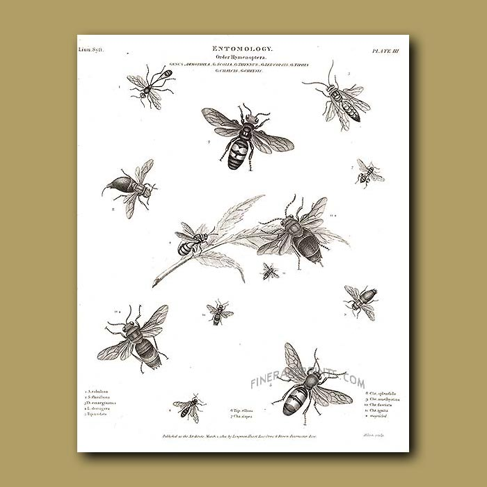 Antique print. Sawflies, Bees and Wasps