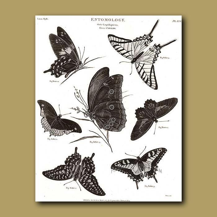 Antique print. Swallowtail Butterflies