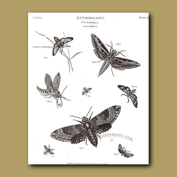 Antique print. Hawk Moths