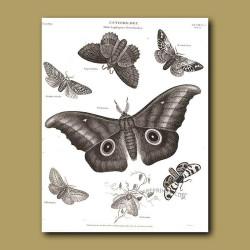 Silk Moths
