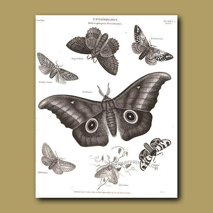 Antique print. Silk Moths