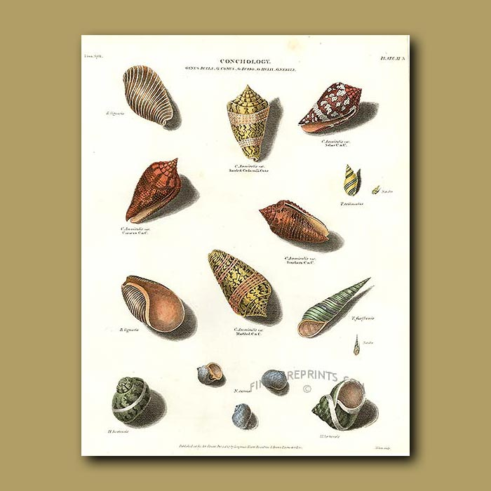 Antique print. Cone,Helix and Turbo Shells