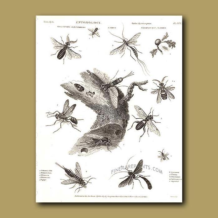 Antique print. Wasps