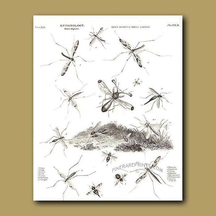 Antique print. Horse Bot Fly, Crane Fly and Stalk-eyed Fly