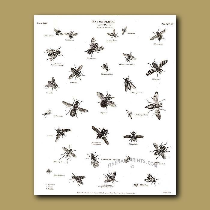 Antique print. True Flies